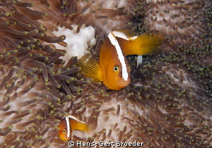 Slunik Anemonefish